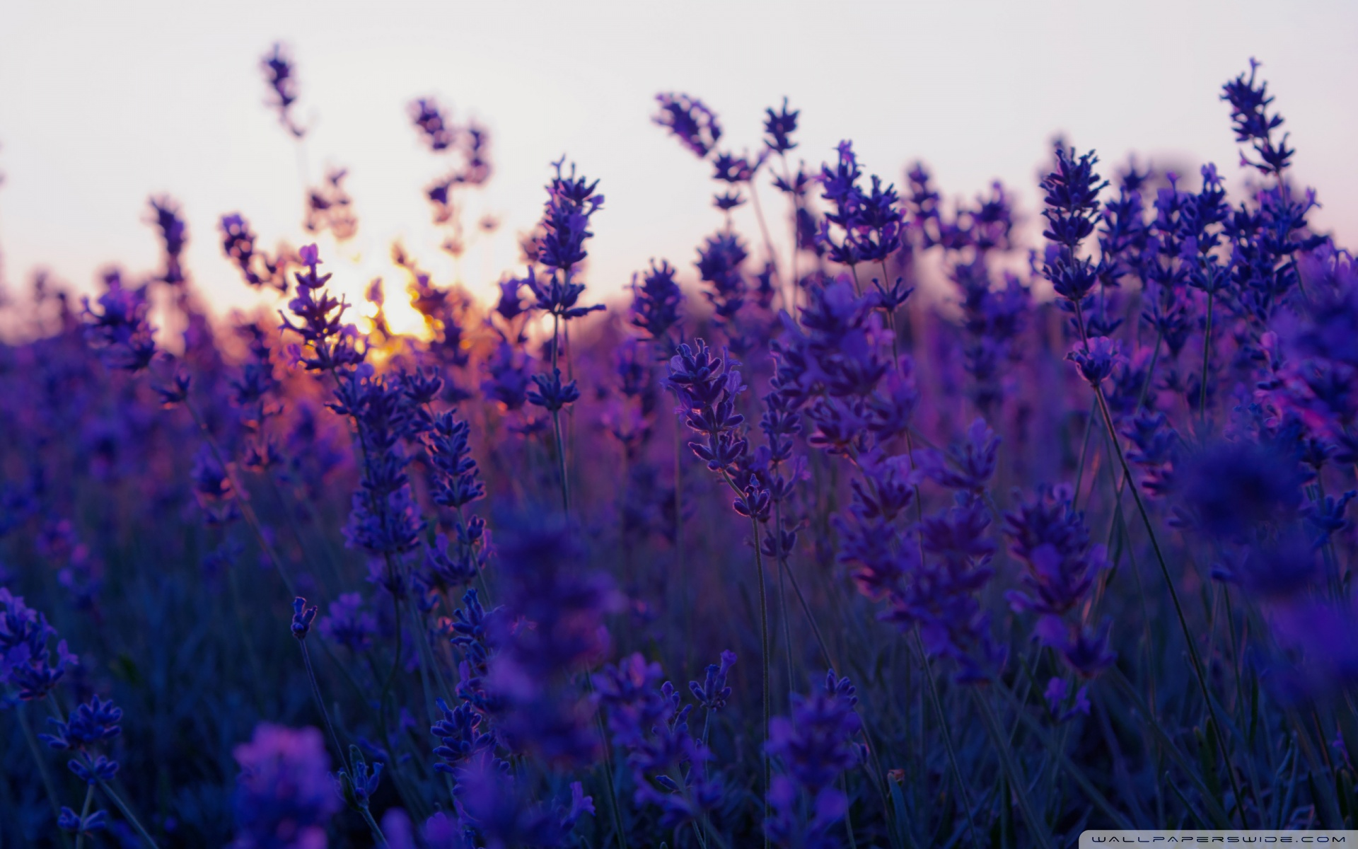 Lavender HD Wallpaper Collections - HD and 4K wallpaper ...